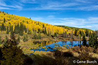 Colorful Aspens on the Grand Mesa
